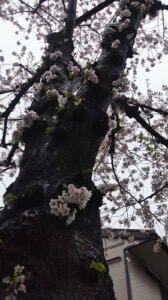 花散らしの雨2